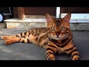 cat that looks like a tiger this cat is named thor and looks like a bengal tiger