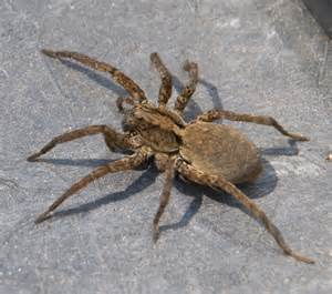 Large Wolf Spider