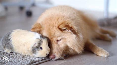 Guinea Pig and Dog Friends