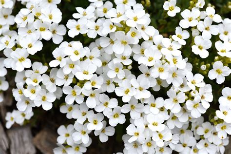flower not flowering free images nature blossom white spring botany garden close flora wildflower flowers