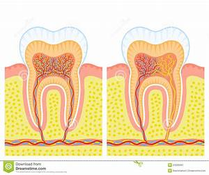 Internal Structure Of Tooth Stock Vector