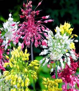 Allium Pflanzen Im Frühjahr : allium fireworks 1a qualit t kaufen baldur garten ~ Yasmunasinghe.com Haus und Dekorationen