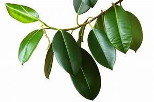 Gummibaum Verliert Blätter : gummibaum verliert bl tter wo liegen die ursachen ~ Lizthompson.info Haus und Dekorationen
