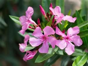 Laurier Rose Entretien : laurier rose plantation taille entretien pour une ~ Melissatoandfro.com Idées de Décoration