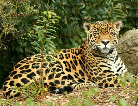 Jaguar (panthera Onca)  Our Wild World