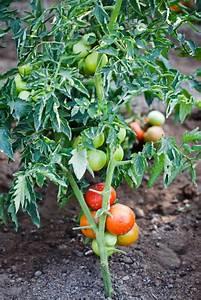 Tomaten Wann Pflanzen : tomaten pflanzen wann tomaten pflanzen wann ist die ideale pflanzzeit tomaten pflanzen im ~ Frokenaadalensverden.com Haus und Dekorationen
