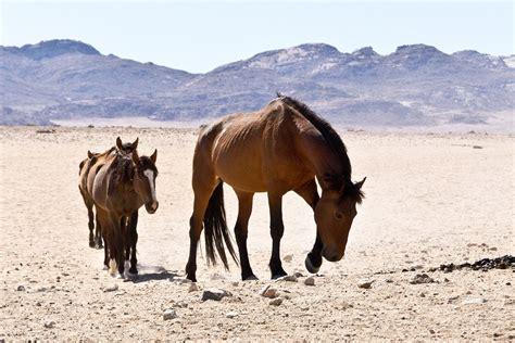 horses desert wild namib namibia africa magazine freedom summer