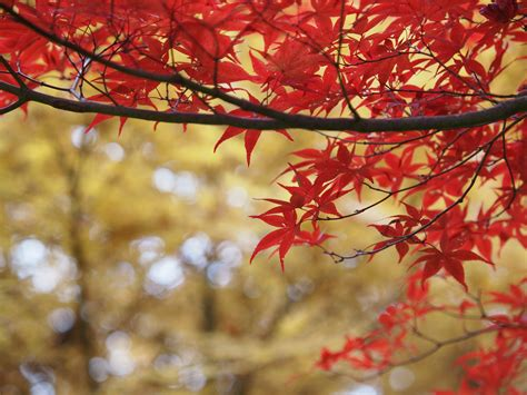 printable fall leaf templates maple leaves patterns