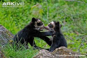 Spectacled Bear   www.pixshark.com - Images Galleries With ...