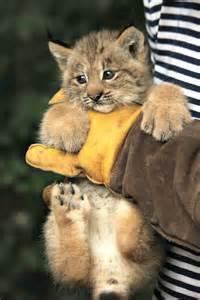 Canada Lynx Babies