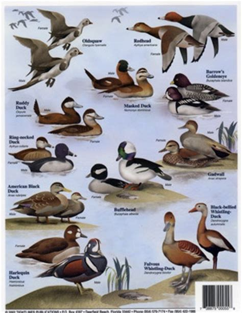 duck types duck identification chart duck identification chart hunting pinterest ducks and charts