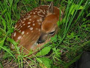 White-tailed deer fawn by DNR's Peter Jayne