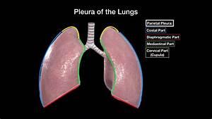 Lungs  Structures  Coverings And Recesses