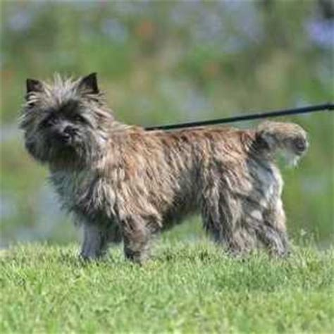 Cairn Terrier Shed Hair by 29 Small Non Shedding Breeds