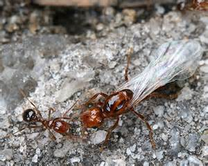Fire Ant Queen with small worker - Solenopsis invicta ...
