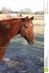 Red Chestnut Gelding Quarter Horse Stock Photos - Image ...