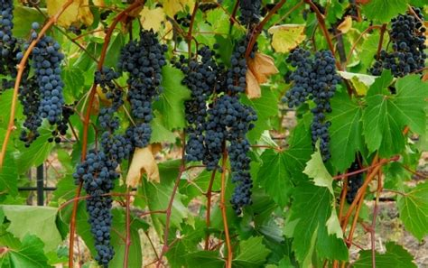 grape cultivation information guide asia farming