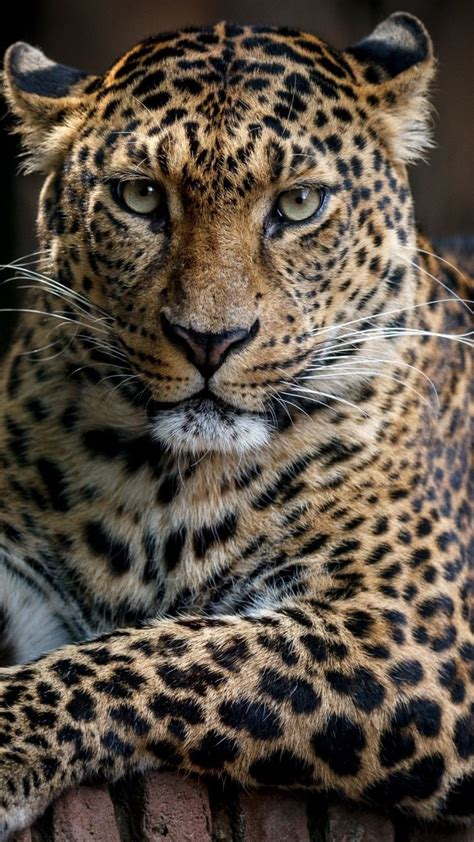 Leopard Animal Wallpaper - confident predator leopard animal 720x1280 wallpaper