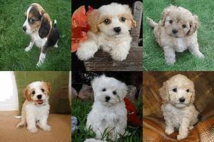 Teddy Bear Puppies For Sale Price List - Don't Get Ripped Off