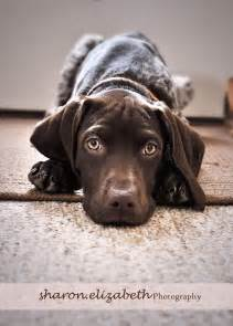 Baby German Shorthaired Pointer