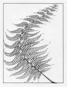 Ferns Drawing At Getdrawings