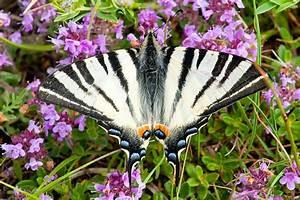 Schmetterlinge überwintern Helfen : insekten und spinnen nabu brandenburg ~ Frokenaadalensverden.com Haus und Dekorationen