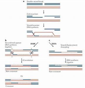 Repair of DNA double-strand breaks by DSBR and SDSA ...