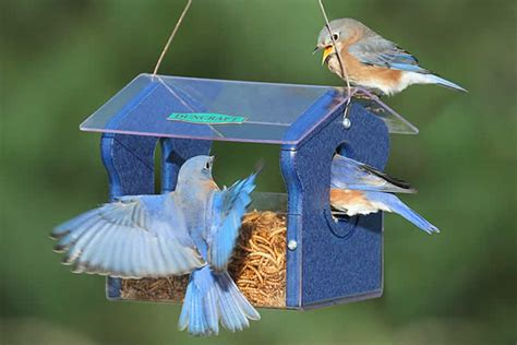 top 28 blue bird seed blue jay aspen song wild bird