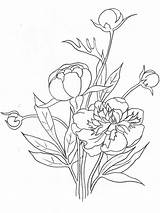 Coloring Peony Flower Flowers Printable Colors Recommended Mycoloring sketch template