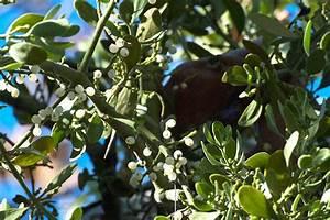 Ho, ho, the mistletoe! « News from the Bernard Field Station