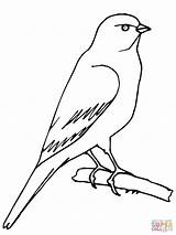 Canary Coloring Pages Bird Printable Perched Drawing Plover Piping Supercoloring Rule Para Desenhos Birds Jay Sketch Imagens Colorir Template Serin sketch template