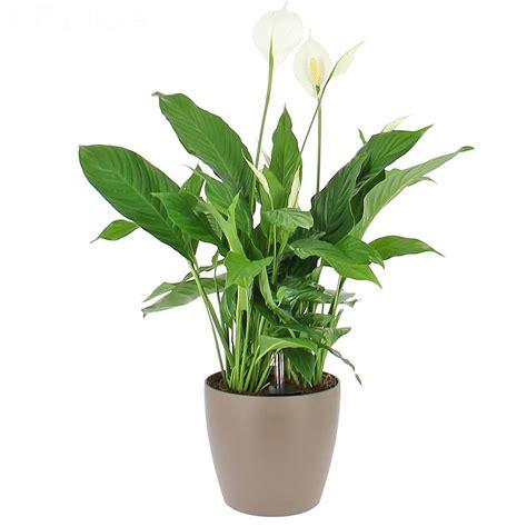 plante pour le bureau livraison spathiphyllum en bac à réserve d 39 eau plante de