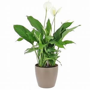 Livraison Spathiphyllum En Bac Rserve D39eau Plante De