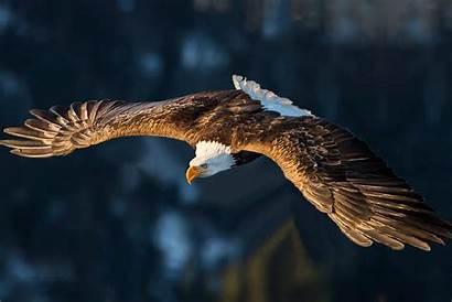 Elang Eagle Burung Animated Gifs Eagles Soaring