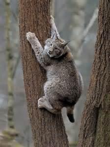 Pet Eurasian Lynx Cats