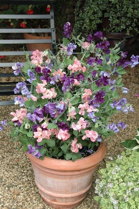 365  Healthy Days24 Best Vines For Containers Climbing