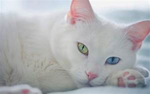 White Cats with Amazing Beautiful Eyes - funnycatsgif.com