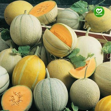 Dārza ABC - Melones. Meloņu audzēšana