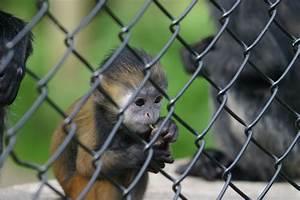 Photo: IMG 4432 Sad caged monkey