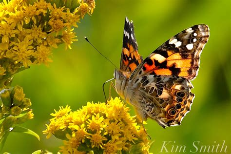 spectacular painted lady butterfly irruption happening