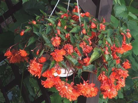 plikbegonia zwisajaca begonia tuberhybrida jpg