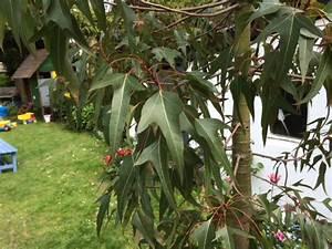 Was Ist Das Für Ein Baum : was ist das f r ein baum brachychiton sp b populneus ~ Buech-reservation.com Haus und Dekorationen