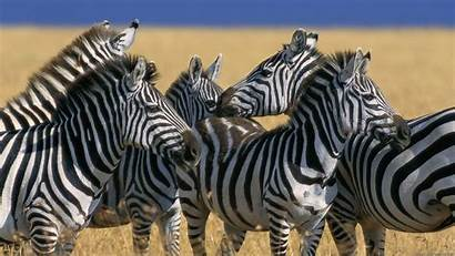 Zebra Animals Wallpapers Animal Same Different Why