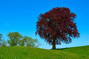 Bäume Schneiden Wann : blutbuche schneiden wann wie oft und wie ~ Lizthompson.info Haus und Dekorationen