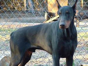 Warlock Doberman Pinscher | Kennel Hung's Iron Dog Kennels ...