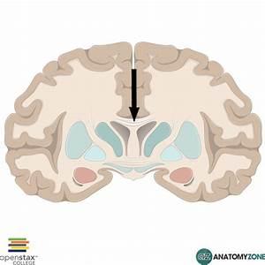 Corpus Callosum  U2022 Nervous System  U2022 Anatomyzone