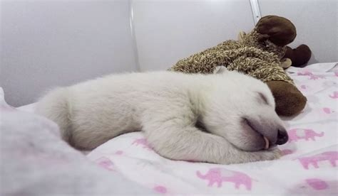 abandoned baby polar bear    adorable sounds