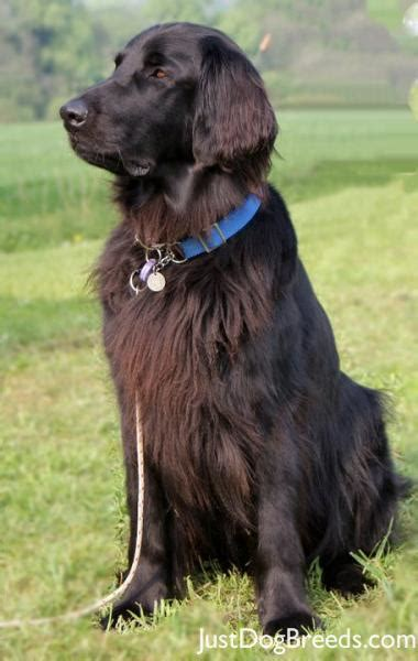 Flat Coated Retriever Molting by More Small Breeds Of Dogs Breeds Picture
