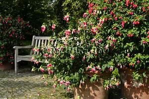 Bäume In Kübeln : bild garten mit fuchsien und hortensien 476010 bilder ~ Lizthompson.info Haus und Dekorationen