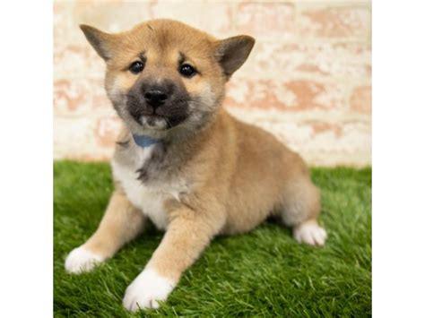 6xresearch source both tail types curl towards the recognize the dog's fur color. Shiba Inu-DOG-Female-Red Sesame-2828682-Petland Kennesaw